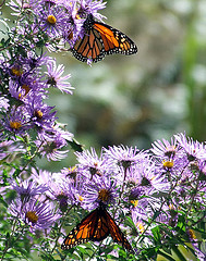 monarch butterflies on New York asters