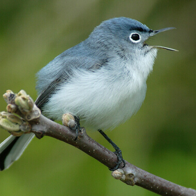 May-June 2015 Gnatcatcher is out
