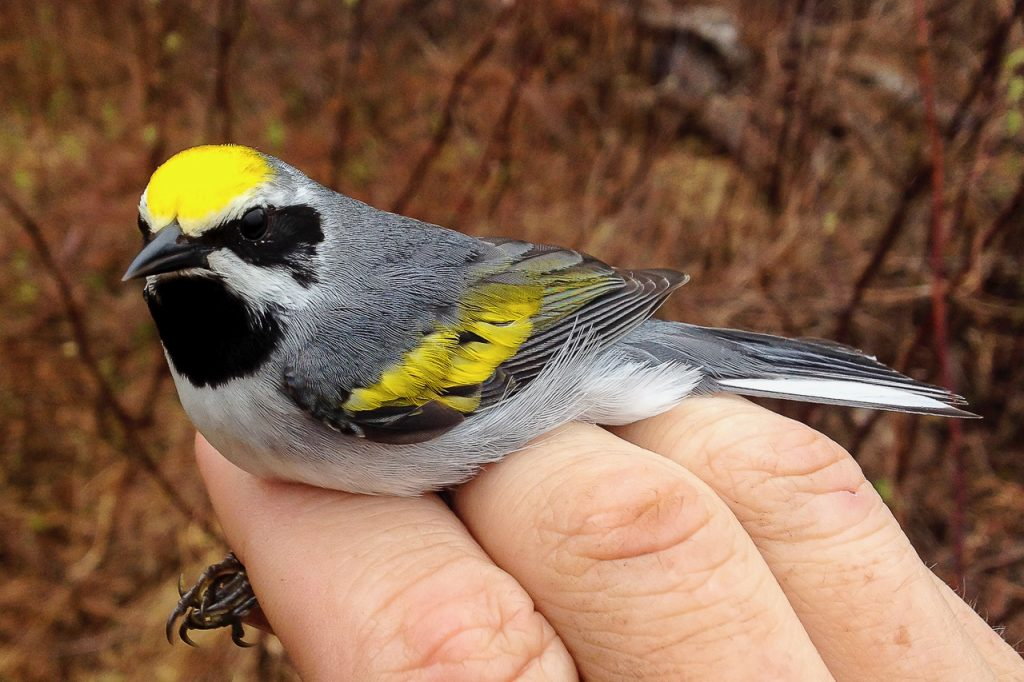 Golden-winged Warbler in the hand.