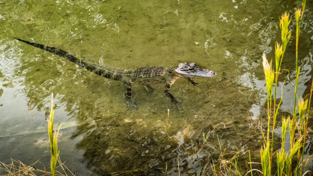 A small alligator floating in the water.