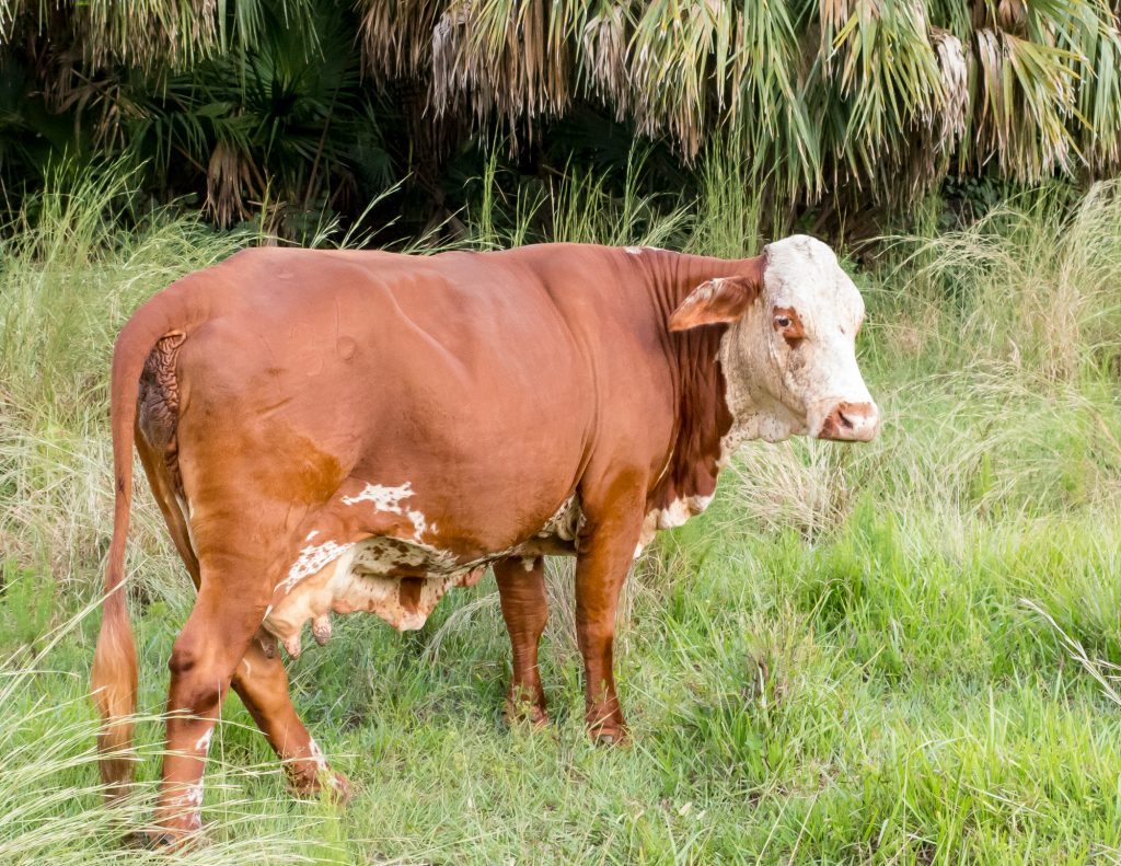 Brown cow with a white head.