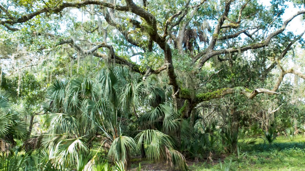 Saw palmettos with a moss-covered live oak in the background.