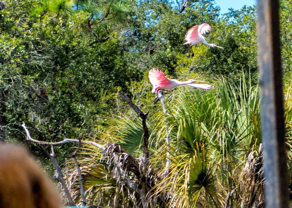 Roseate Spoonbills in flight.